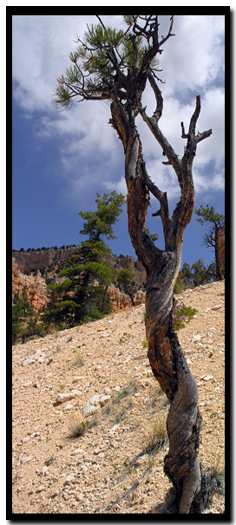 tree in Bryce Canyon