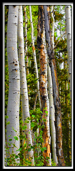Cedar Breaks Aspen Trees