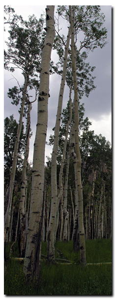 Aspen on Cedar Mountain of Dixie National Forest