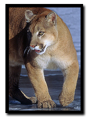 Mountain Lion - NPS free use photo
