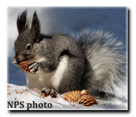 NPS photo - Kaibab Squirrel