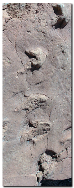 Dinosaur footprints found in Cottonwood Canyon of the Grand Staircase National Monument