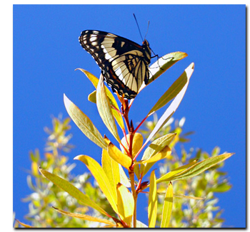 Butterfly rests upon a native vegetation of the Grand Staircase National Monument