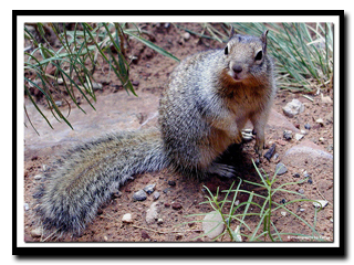 Zion's Rock Squirrel